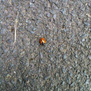 ladybug apology